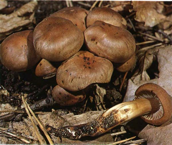 Коллибия веретеноногая Collybia fusipes